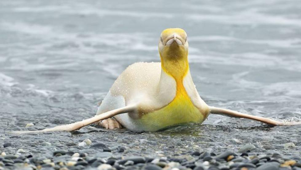 Avistaron un raro pingüino amarillo