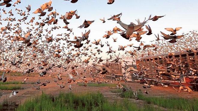 Miles de palomas mensajeras se perdieron por una tormenta